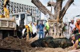 Αιωνόβιες ελιές στην Ιερά Οδό  μεταφύτεψε ο Δήμος Αθηναίων